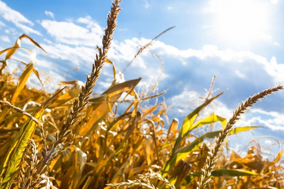 Resort rolnictwa: działają już pierwsze komisje szacujące straty suszowe