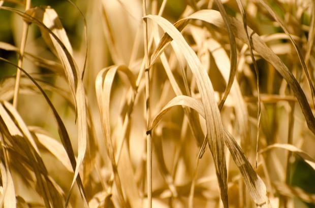 Minister rolnictwa spotka się z wojewodami w sprawie suszy