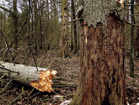 Leśnicy twierdzą, że kornika w Puszczy Białowieskiej jest coraz więcej