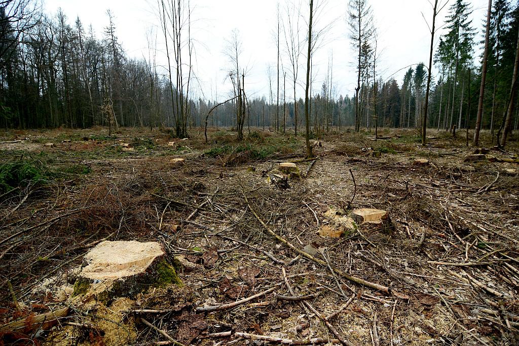 Czarny scenariusz ustawy to masowe i zupełnie niepotrzebne wycinki drzew (fot. Andrzej Szkodzin/Flickr)