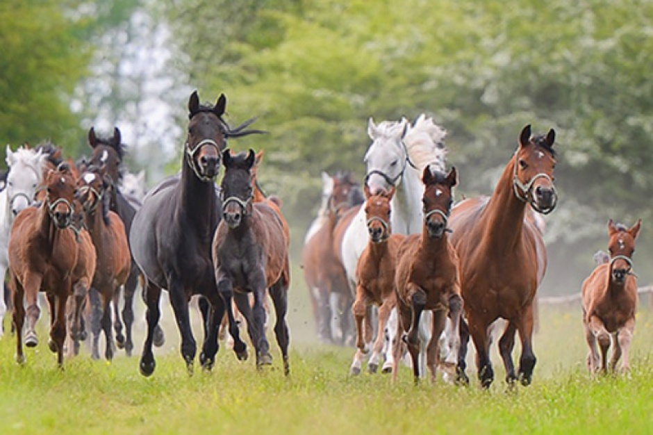Święto Konia Arabskiego: Aukcje i pokazy koni w Janowie Podlaskim