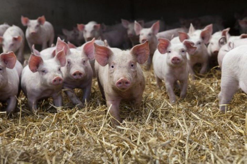 Lubelskie: U świń wykryto kolejne ognisko ASF