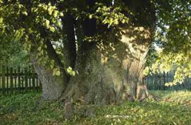 Akcja ratowania najstarszego drzewa w Polsce