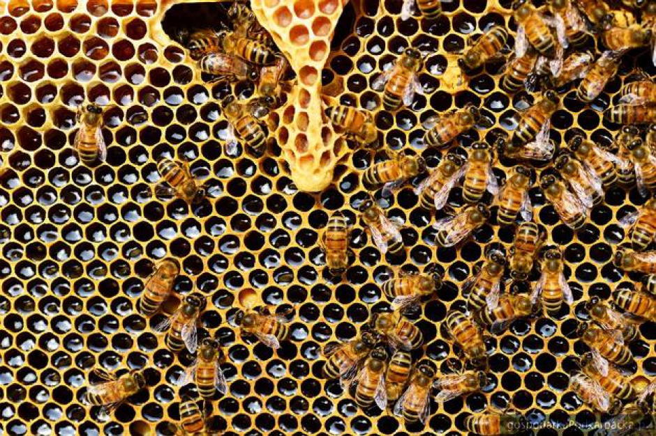 Miasta są przyjaznym środowiskiem dla pszczół?