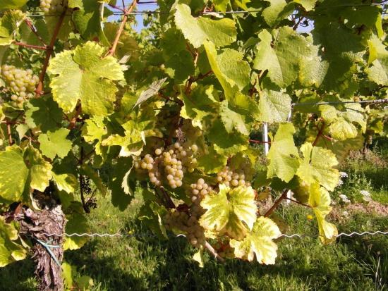 Podkarpackie winnice: Region wraca do korzeni?