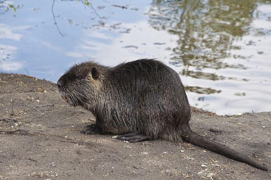 Plany odstrzału  3 tys. bobrów na Podlasiu. Ekolodzy protestują