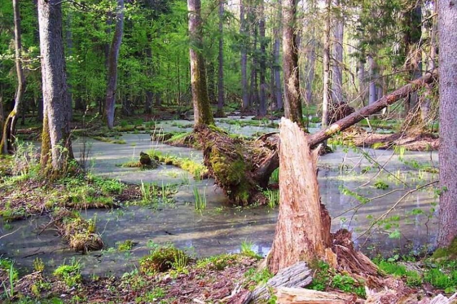 Puszcza Białowieska: Resort środowiska powołał dedykowany jej zespół