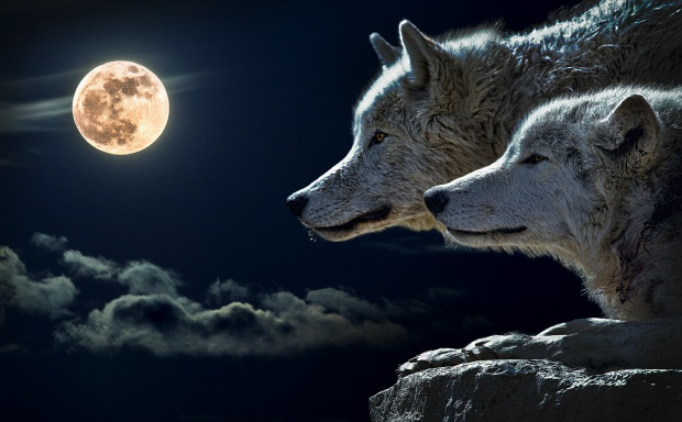 Lubuskie: Zwolnij! Wilki! - Nowe znaki drogowe mają chronić wilki