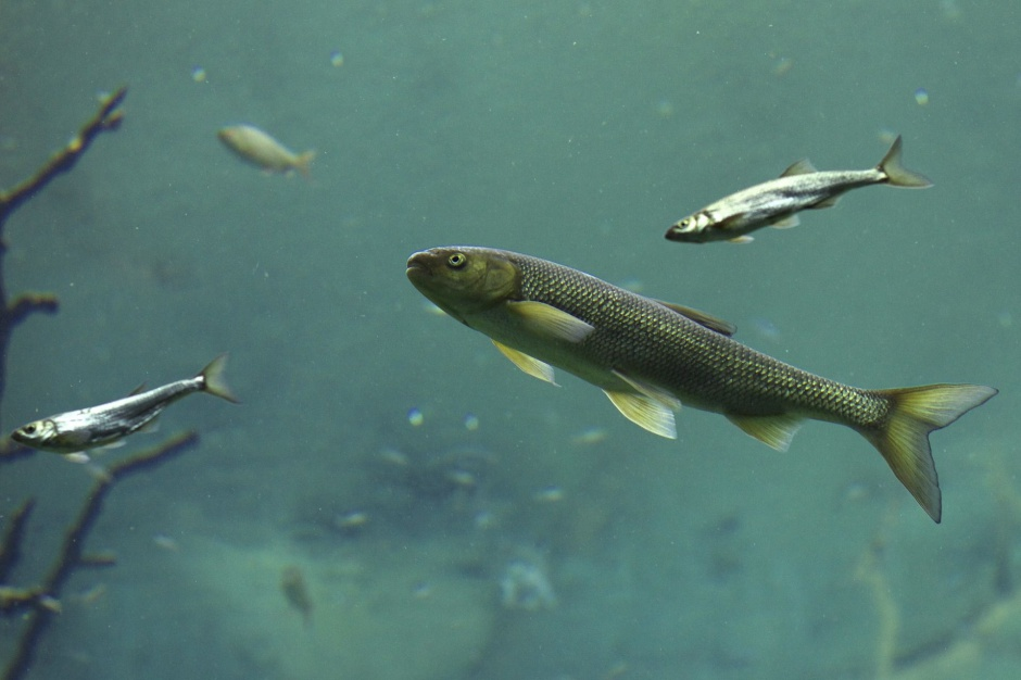 Zarybianie rzeki: Milion ryb zostanie wpuczonych do Warty w Poznaniu
