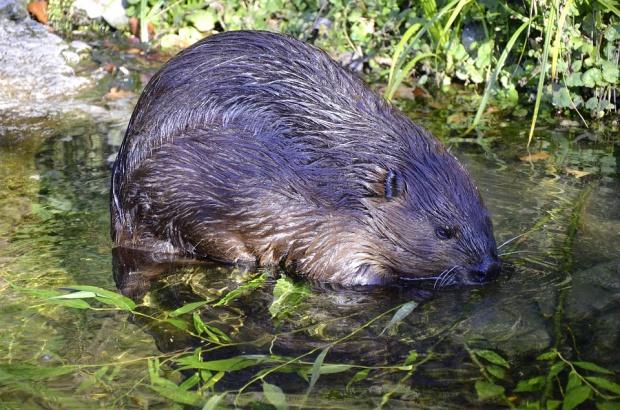 Warmińsko-mazurskie: Odstrzelą ponad 1,7 tys. bobrów