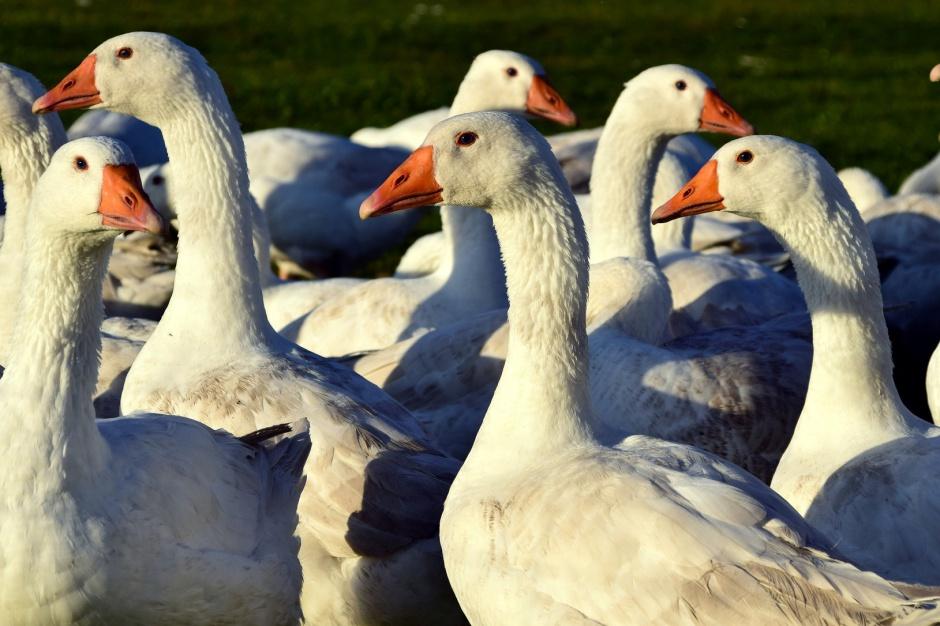 Lubuskie, ptasia grypa: Wykryto nowe ognisko w Deszcznie