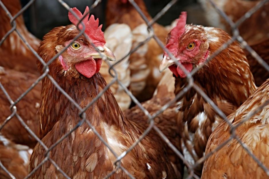 Lubuskie, ptasia grypa: Ptaki w strefie zapowietrzonej zostaną wybite
