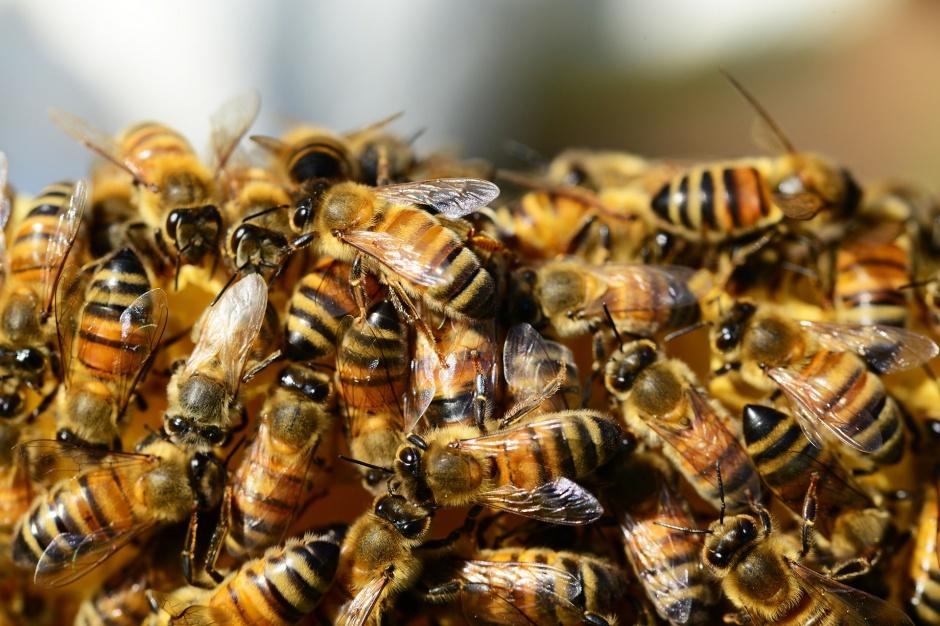 Pszczoły zadomowiły się w mieście