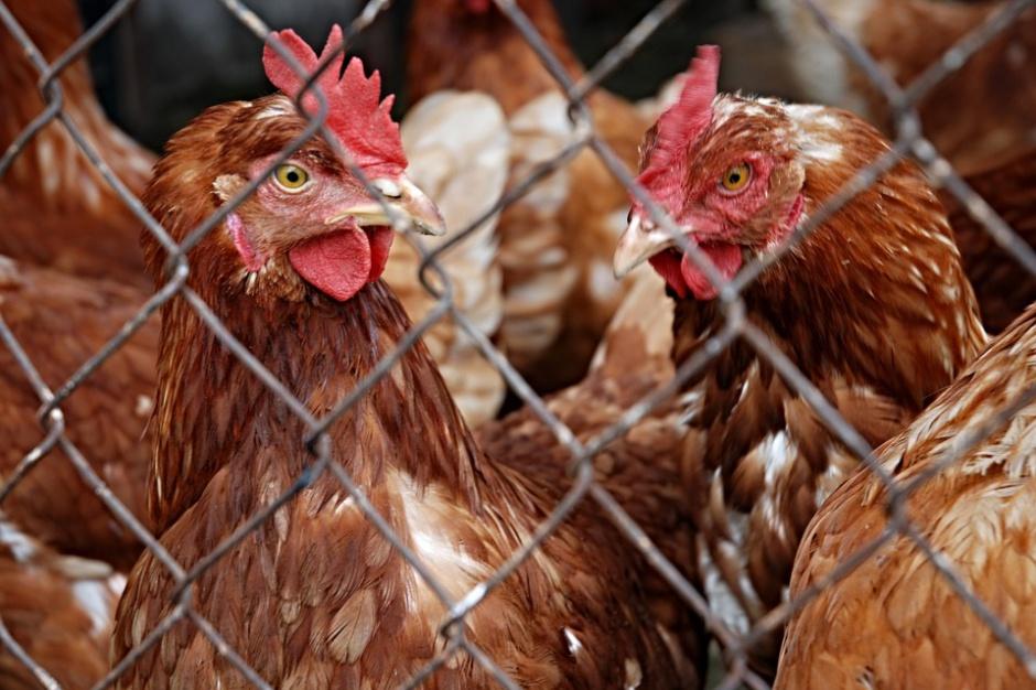 Świętokrzyskie samorządy muszą przyłączyć się do walki z ptasią grypą