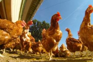 Zespół kryzysowy w Ostrzeszowie. Jest ognisko ptasiej grypy