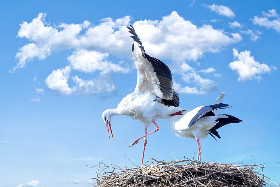 Bocianie gniazda zostaną przeniesione w bezpieczne miejsca
