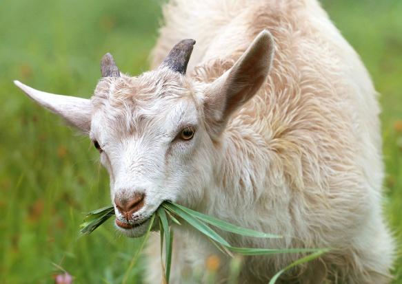 Włochy: Miasto zatrudniło kozę jako ogrodnika