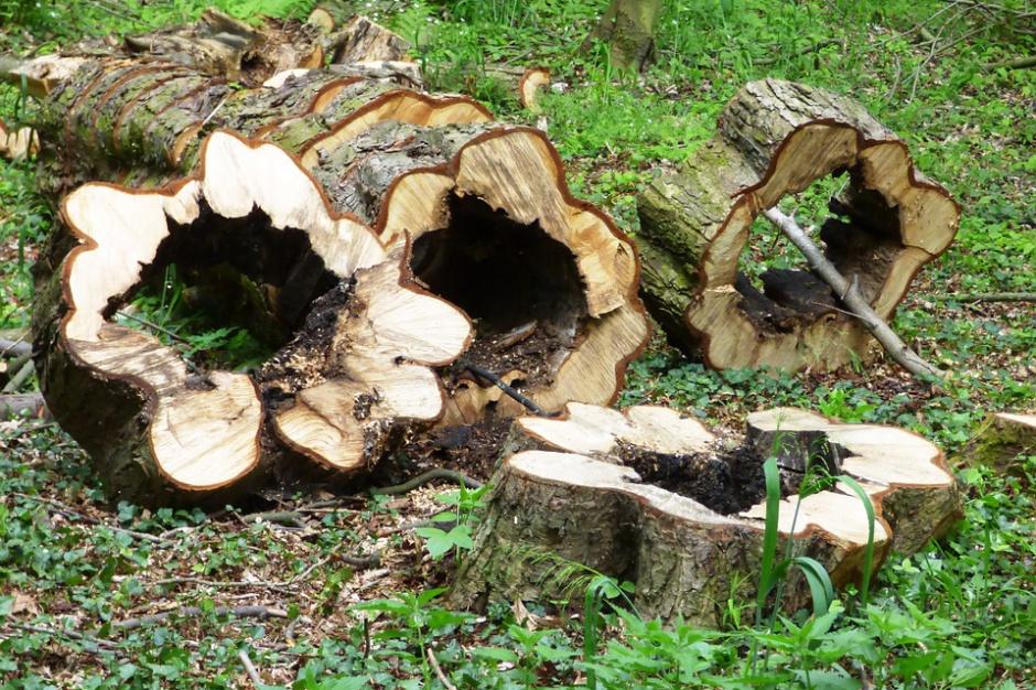 Klub PiS ma już projekt dotyczący wycinki drzew. Znamy szczegóły