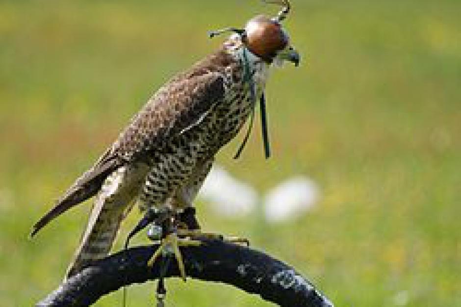 Radom. Drapieżne ptaki ze Słowacji w walce z zanieczyszczającymi parki gawronami