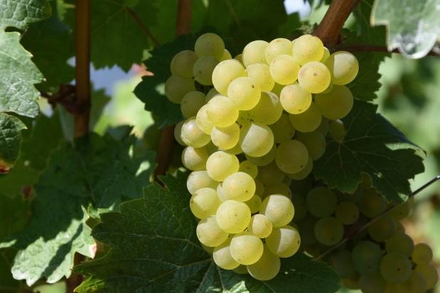Podkarpackie: Kiepskie zbiory w winnicach przez mrozy