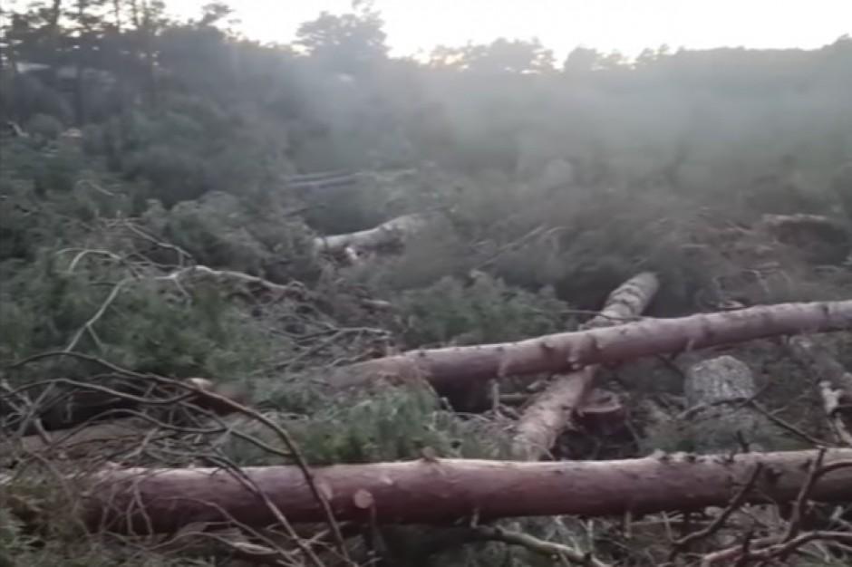 Wycinka drzew w Łebie: Prokuratura nie ma nic do zarzucenia burmistrzowi