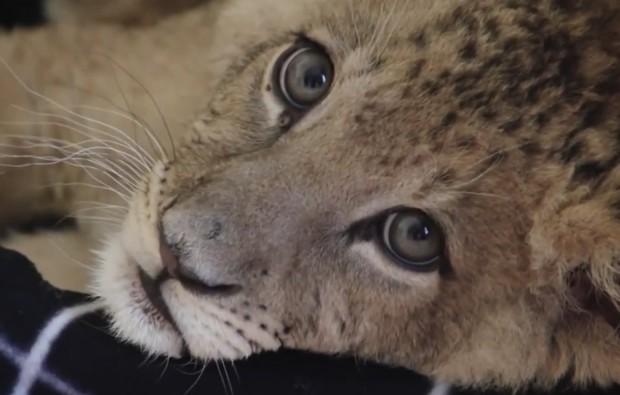 Poznań: Zoo chce stworzyć azyl dla lwów