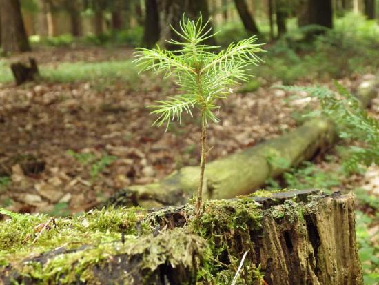 W Nadleśnictwie Kudypy posadzono nowe drzewa