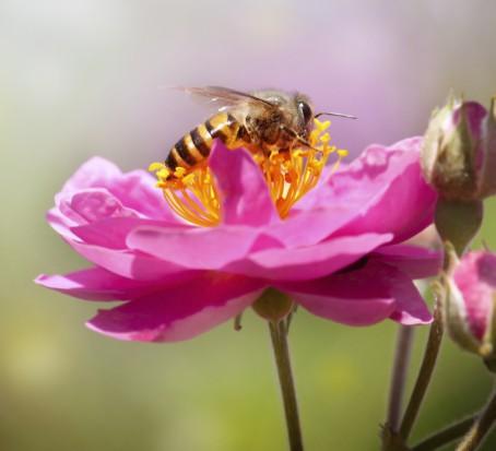 Gmina Przyjazna Pszczołom: Samorządy na ratunek pszczołowatym