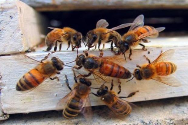 W ramach realizacji programu, oprócz szeroko zakrojonej edukacji, prowadzone są działania zmierzające bezpośrednio do poprawy warunków życia owadów (fot.shc)