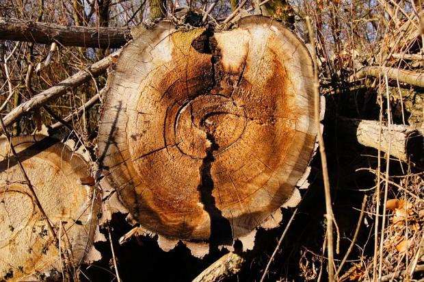 Wycinka drzew: przepisy się zmieniły, urzędnicy nie blokują wyrębu