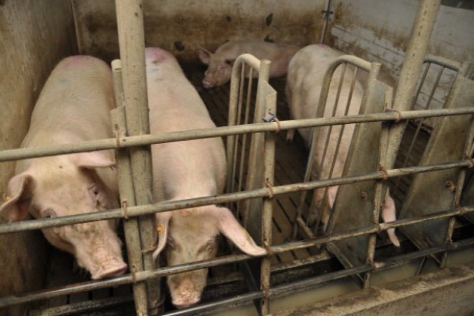 ASF: Będą o rekompensaty za rezygnację z hodowli świń