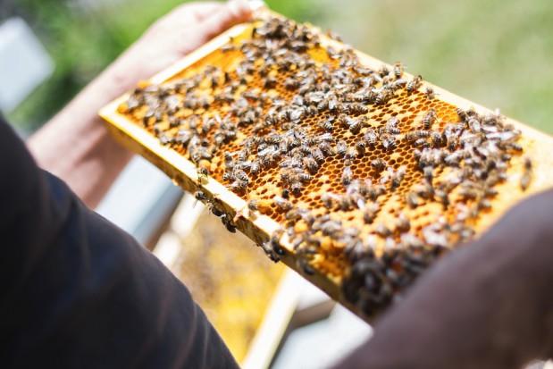 Pszczoły miały wyginąć, a w Polsce jest ich coraz więcej