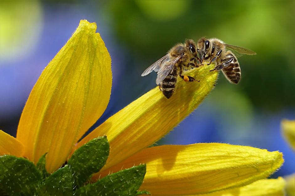 Chrońmy pszczoły. Zawdzięczamy im 80 proc. wszystkiego, co jemy