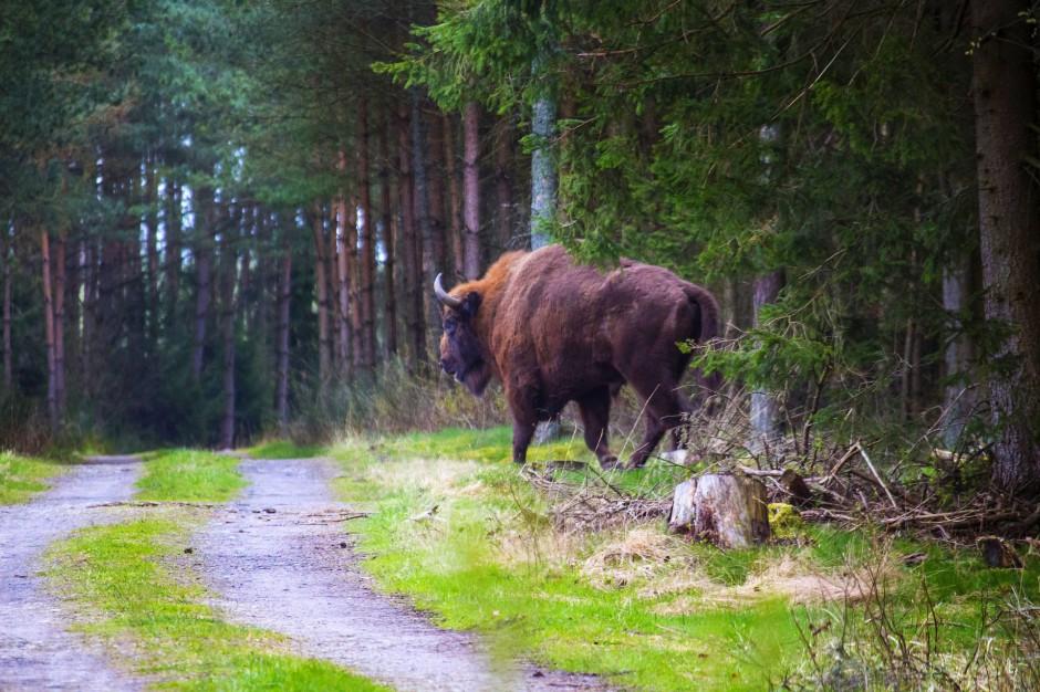 Muczne: Żubry czekają na półmilionowego turystę