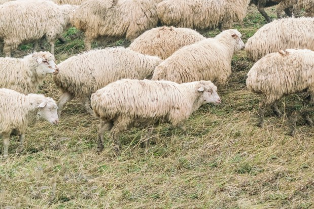 Wypas owiec na Podkarpaciu dobiega końca