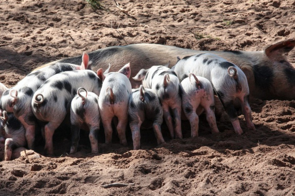 Walka z ASF: Trzy bieszczadzkie gminy zagrożone wystąpieniem afrykańskiego pomoru świń