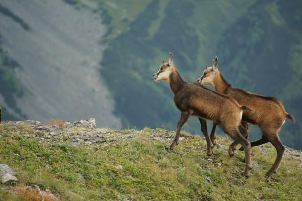 TPN: 1263 kozice naliczyli przyrodnicy w Tatrach