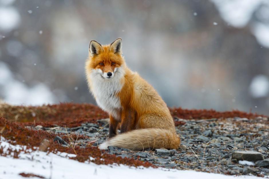 Podkarpackie: Lisy zostaną zaszczepione przeciw wściekliźnie