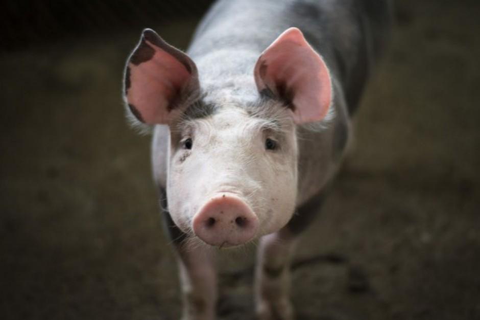 Kolejne ognisko ASF u świń na Lubelszczyźnie