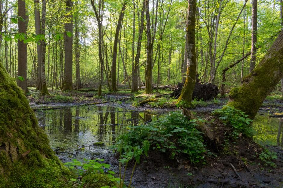 Minister Środowiska do KE: nie prowadzimy gospodarki leśnej w Puszczy