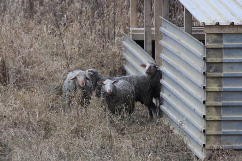 W Warszawie na wyspie na Wiśle zamieszkało stado owiec i kóz