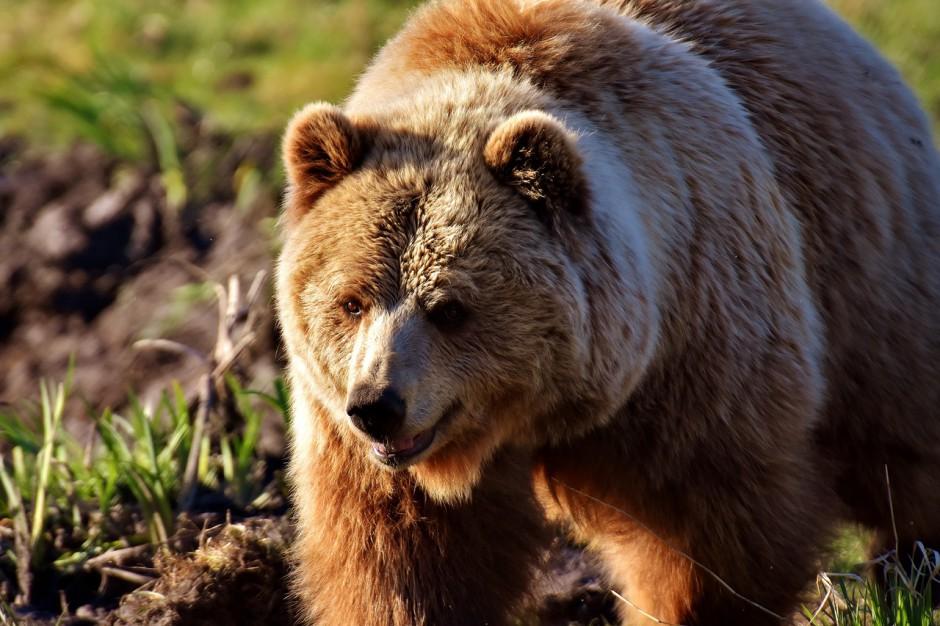 Podkarpackie: Niedźwiedzie w Bieszczadach i Beskidzie nie zapadły jeszcze w sen zimowy