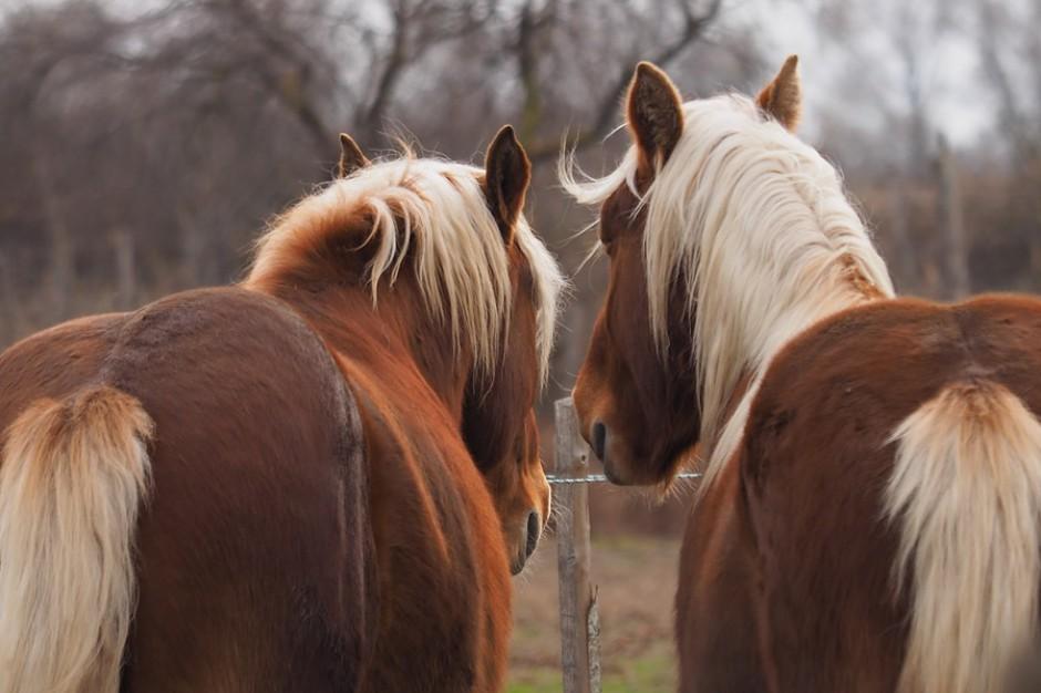 Mazowieckie: zakaz organizacji zgromadzenia publicznego na jarmarku końskim w Skaryszewie