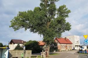 Możesz pomóc topoli Helenie zostać Europejskim Drzewem Roku