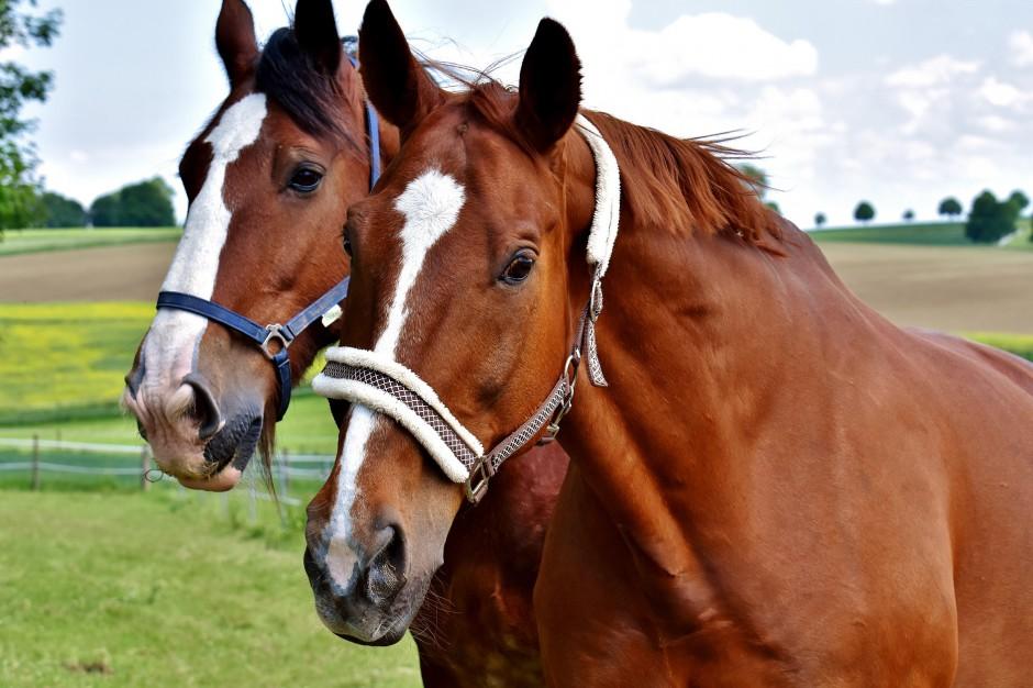 Skaryszew: Jarmark koni z nowym regulaminem i pod nadzorem obrońców praw zwierząt