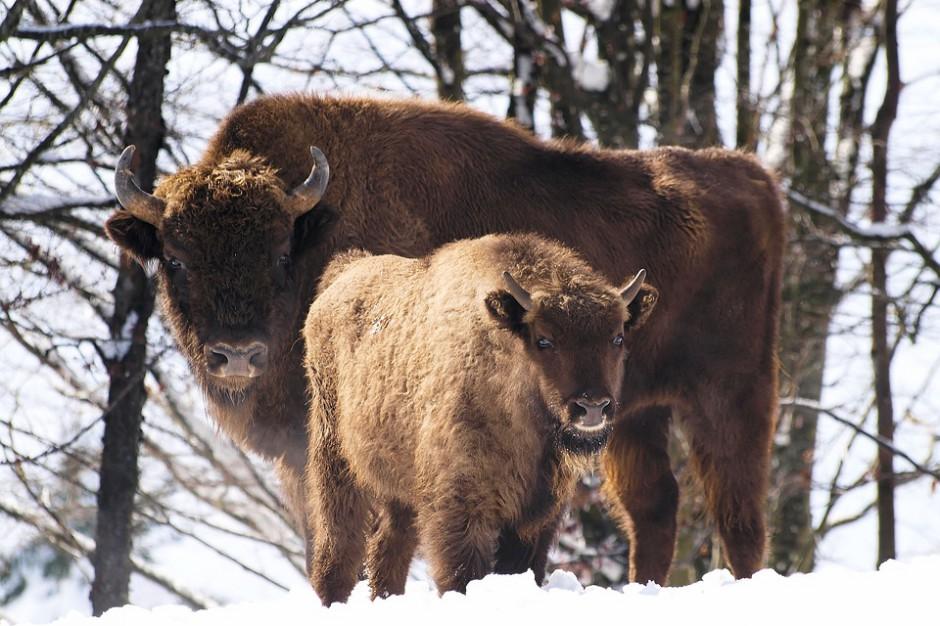 Puszcza Białowieska: Rolnicy zarobią na dzierżawie pól dla żubrów