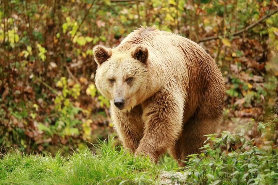 Bieszczady: Niedźwiedzie budzą się ze snu