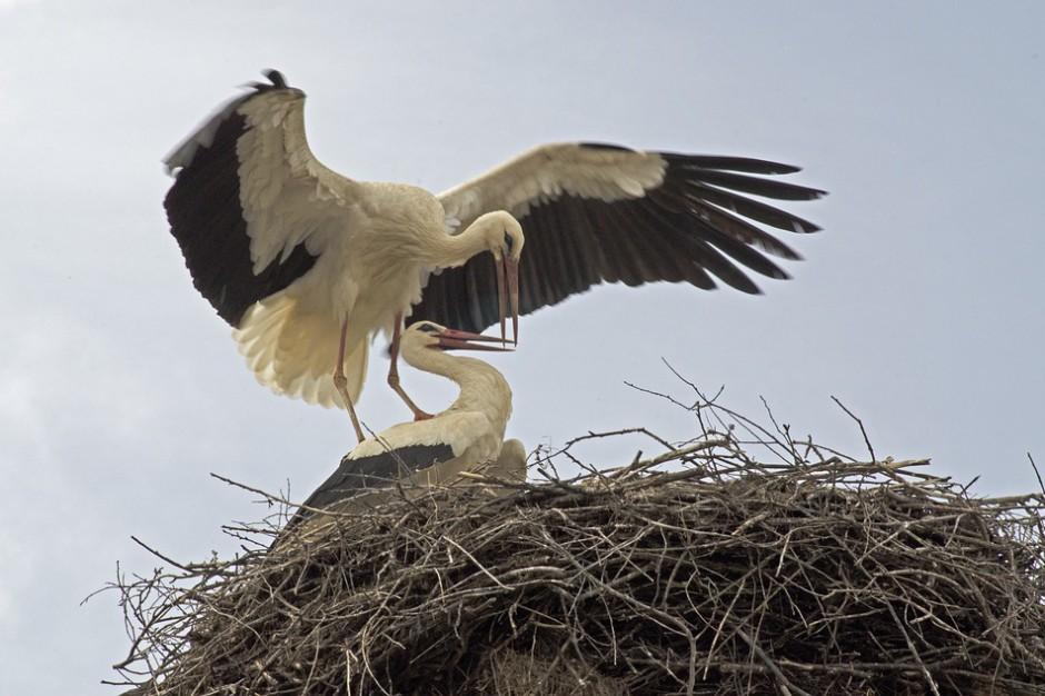 Naukowcy: niemal w połowie bocianich gniazd są śmieci