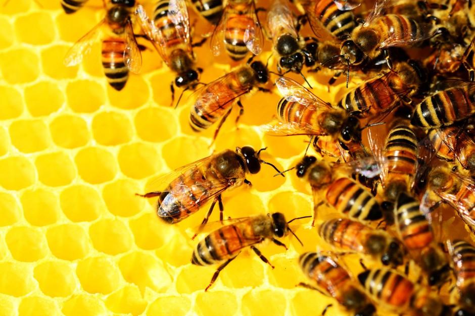 Małopolskie: 500 tys zł dla organizacji na ochronę pszczół