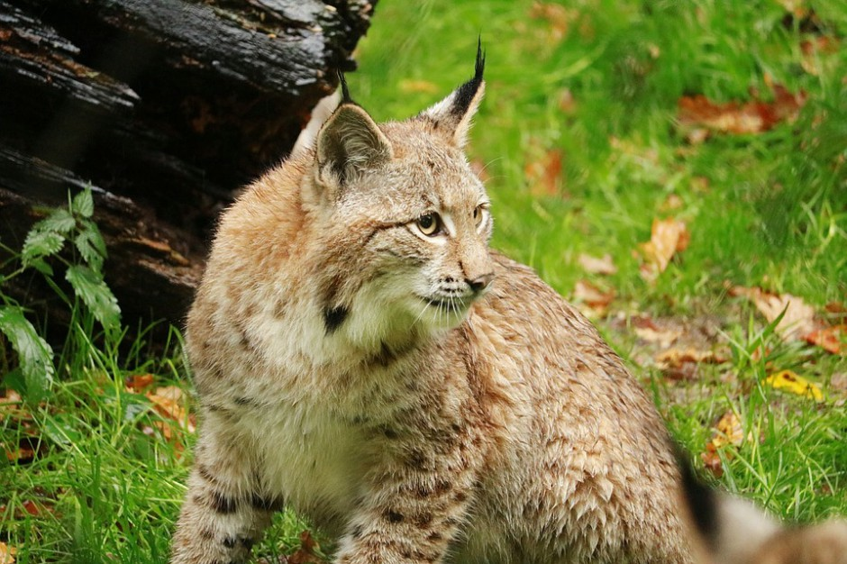Podkarpackie. W lasach przybywa żubrów, wilków, rysi czy niedźwiedzi